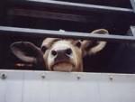 Перевозка крупного рогатого скота