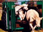 Транспортировка крупного рогатого скота
